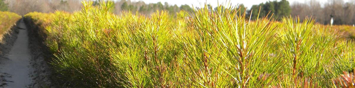 pine-seedlings-banner-resized